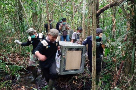 Tiga orangutan dipindahkan ke Taman Nasional Gunung Palung