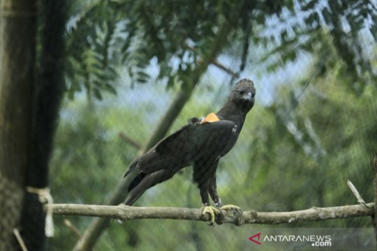 Dua elang dilepasliarkan di TN Gunung Halimun Salak