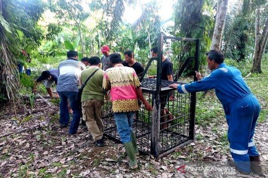 BBKSDA Riau pasang perangkap beruang liar di permukiman warga