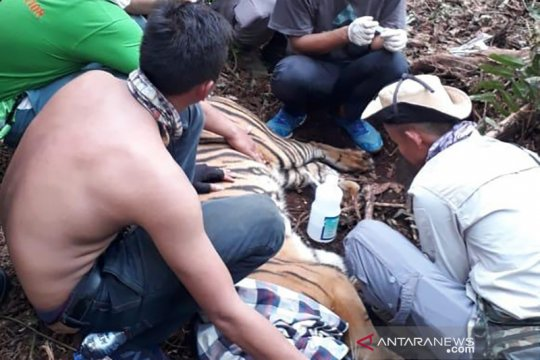 Harimau sumatera dievakuasi dari konsesi HTI di Riau akibat terjerat