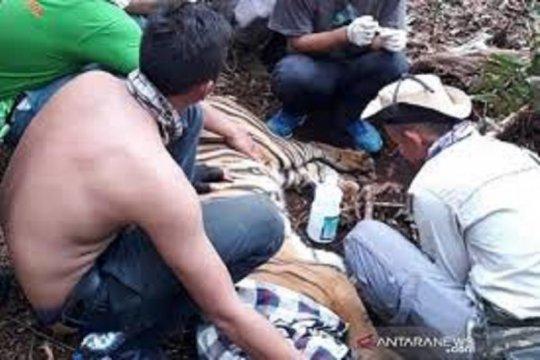 Harimau sumatera yang luka akibat jerat diberi nama Corina