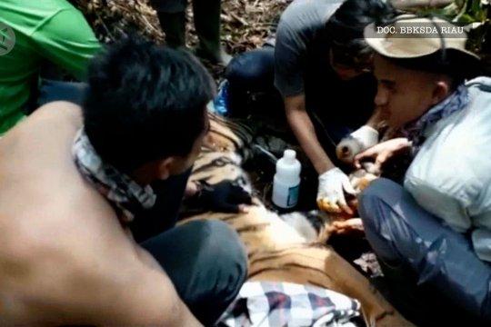 Harimau Sumatera berhasil dilepaskan dari jerat liar
