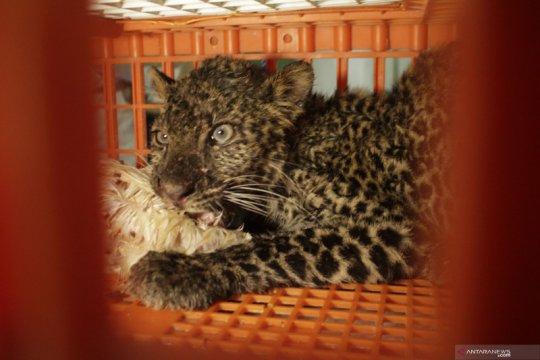 Laju deforestasi picu macan tutul jawa ke luar hutan