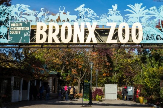 Nadia, harimau di Kebun Binatang Bronx, AS kena corona