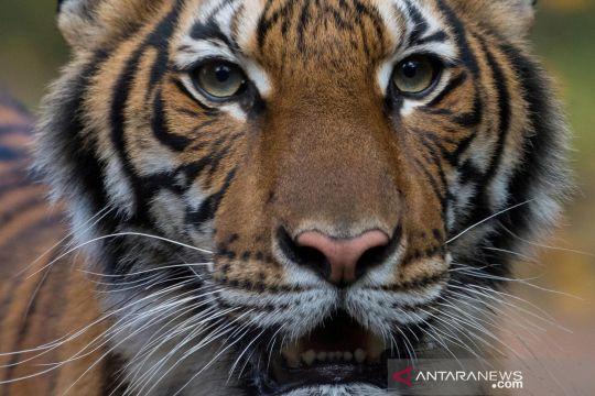 Harimau di kebun binatang New York tertular COVID-19