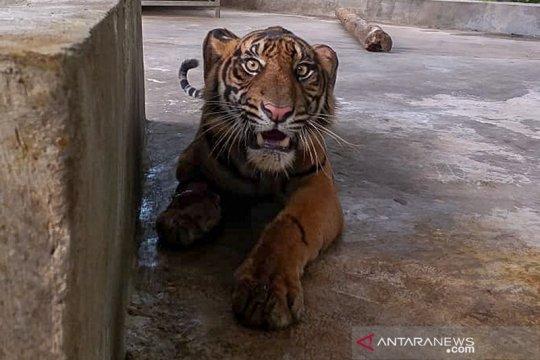 Harimau sumatera yang terjerat di Riau berisiko kehilangan satu kaki