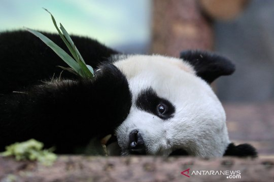 Panda asal China melahirkan di kebun binatang Korea Selatan