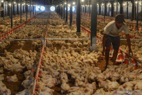 Berdikari usulkan ayam potong dimasukkan ke dalam bantuan sosial