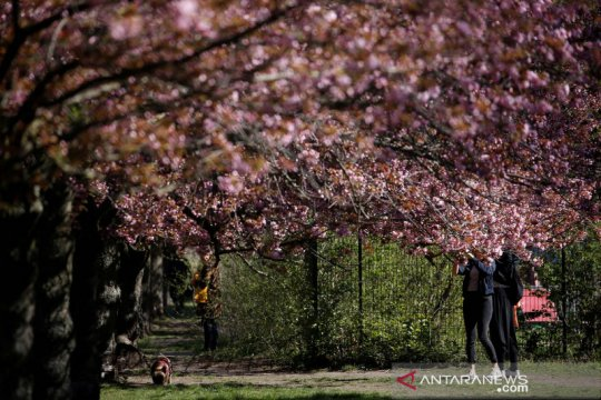Bunga sakura bermekaran di Jerman