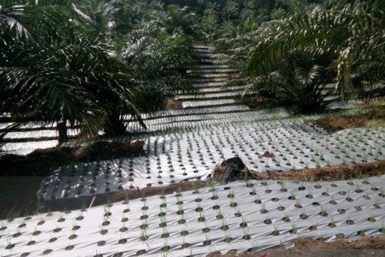 Program peremajaan kelapa sawit tetap berjalan meski ada wabah Corona