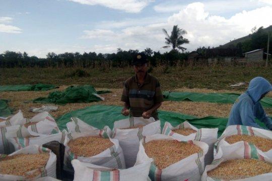 Perputaran uang dari jagung di NTB diperkirakan capai Rp9,1 triliun
