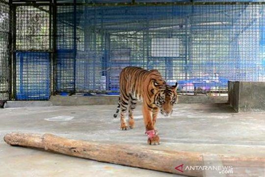 BBKSDA Riau: Harimau Corina alami progres kesembuhan sangat bagus