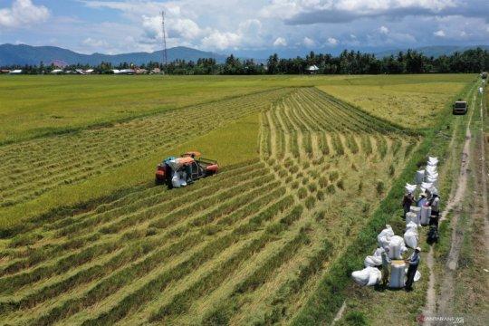 Hasil panen padi di Kabupaten Kolaka tetap stabil