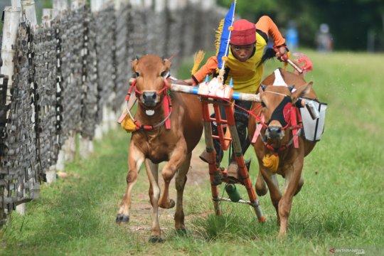 Latihan karapan sapi di Pamekasan