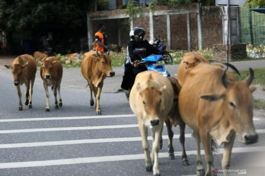 Ternak sapi bergerombol di tengah jalan bahayakan pengendara