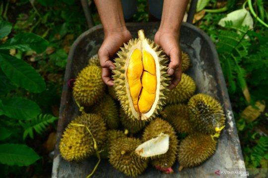 Makan durian bersama manggis, bolehkah?