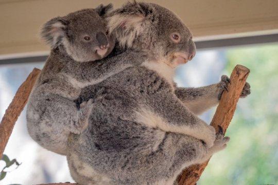 Koala di New South Wales kemungkinan punah pada 2050