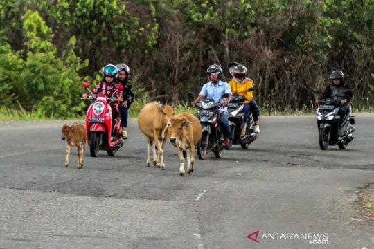 Hewan ternak bahayakan keselamatan pengguna jalan