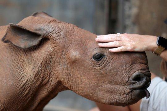 Sukarelawan bantu urusi panti asuhan badak di Afrika selama pandemi