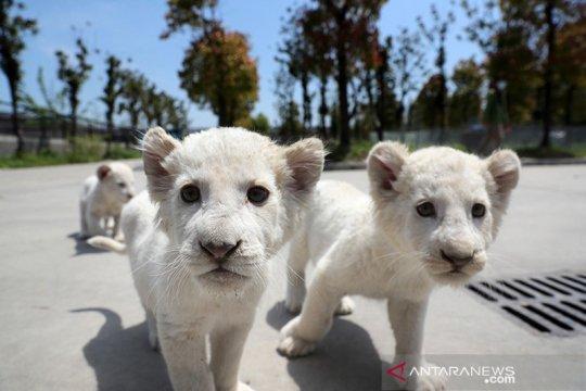 Bayi singa putih mulai mengisi taman safari Nantong
