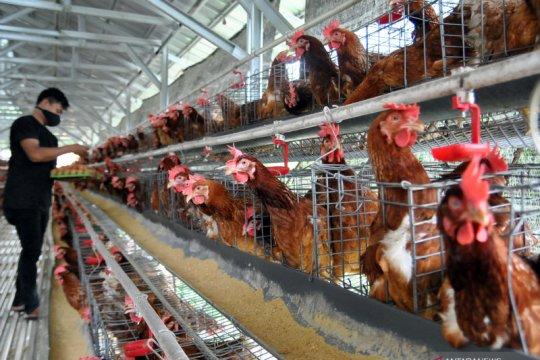 Asosiasi peternak apresiasi kebijakan pembelian ayam ras di 6 provinsi