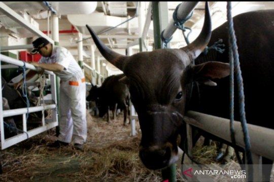 Permintaan pasokan sapi dari luar NTT meningkat selama Ramadhan