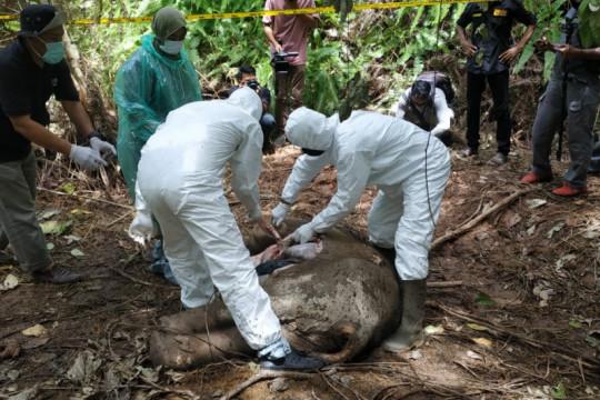 Satu gajah sumatera ditemukan mati tanpa kepala di Aceh Timur
