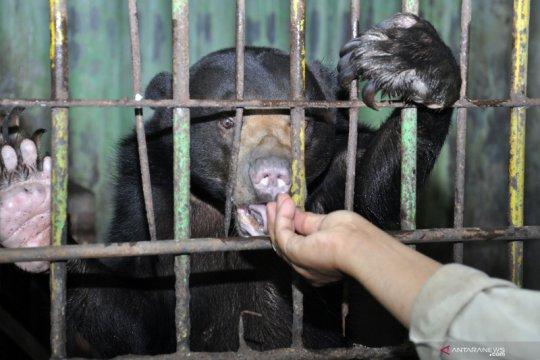 BBKSDA Riau selamatkan induk dan anak beruang tersesat di kebun warga
