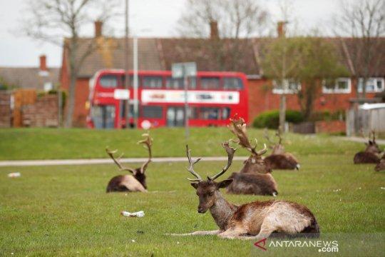 Hewan-hewan liar ini muncul di tengah kota saat wabah COVID-19