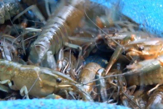 Budidaya benih lobster air tawar lebih menjanjikan