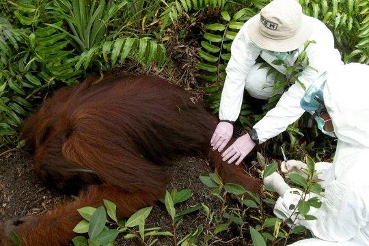 Penanganan primata dalam protokol kesehatan COVID-19