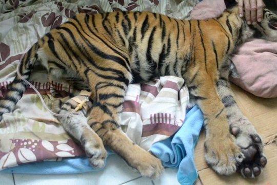 Harimau Sumatera, antara tingginya konflik dan ancaman perburuan liar