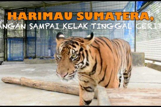 Harimau Sumatera, jangan sampai kelak tinggal cerita