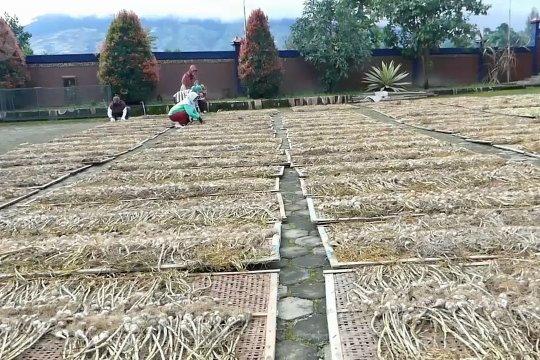 Temanggung panen 2.800 hektare bawang putih