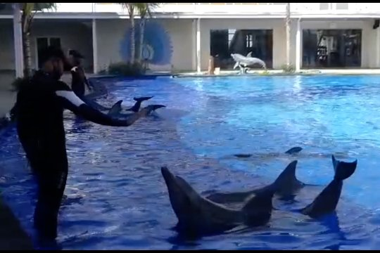 BKSDA Bali pantau kesehatan lumba-lumba saat pandemi