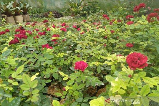 Perkaya koleksi Kebun Raya Cibodas, Balitbangtan serahkan benih mawar