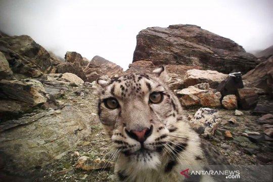 """Macan tutul salju muncul di dekat kota di Kazakhstan saat """"lockdown"""""""