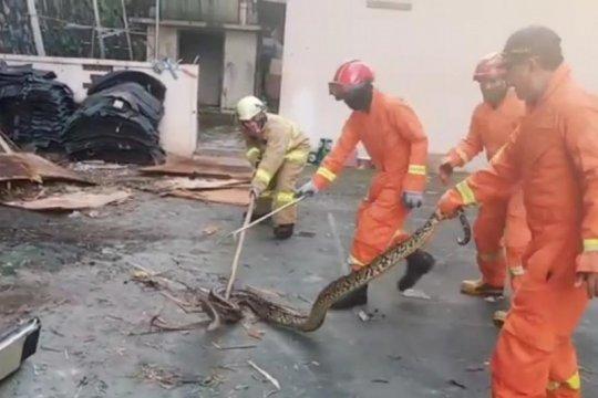 Damkar Jaktim evakuasi sanca tiga meter di Pondok Ranggon