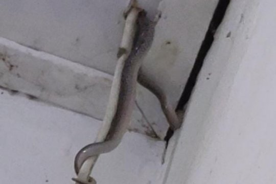 Tim Damkar Jaktim gagal temukan sanca bersarang di plafon rumah