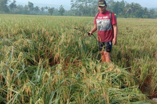 Varietas Mantap inovasi Balitbangtan, mampu hasilkan padi 9,1 ton/ha
