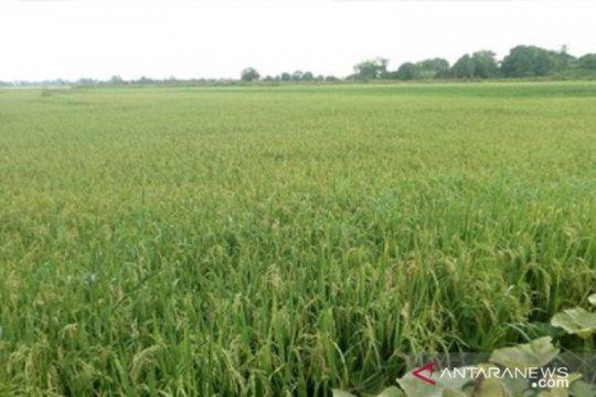 Pemerintah lanjutkan rencana cetak sawah baru di Kalimantan Tengah