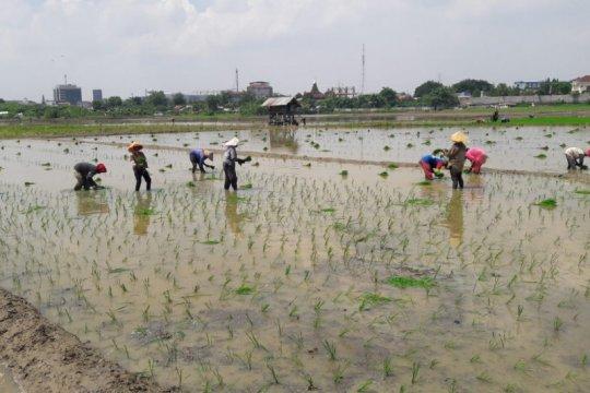 Di saat pandemi, kelompok tani di Jakarta ternyata mampu tanam padi