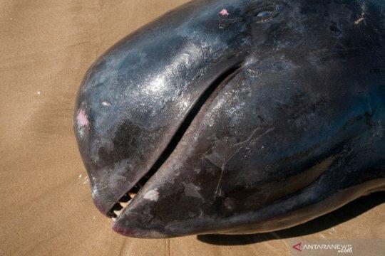 Seekor paus pilot terdampar dan mati di Banten