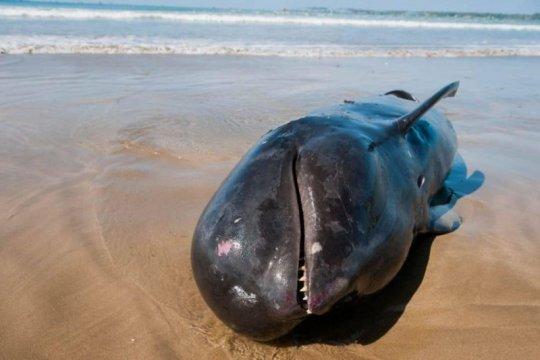 Seekor paus di Lebak mati terdampar di Pantai Cemara Binuangeun