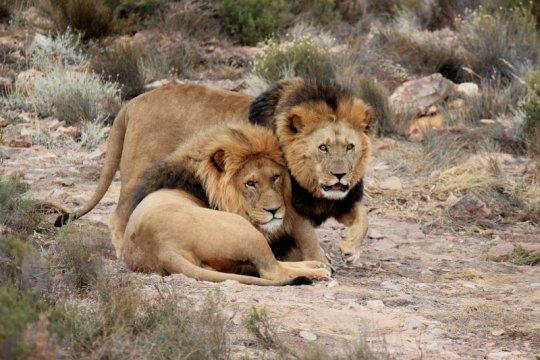 Tujuh singa kabur dari taman safari di Afrika Selatan