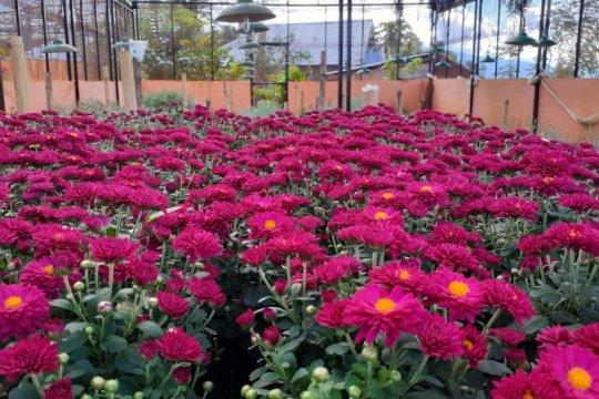 Balitbangtan kembangkan varietas unggul krisan di agrowisata Solok