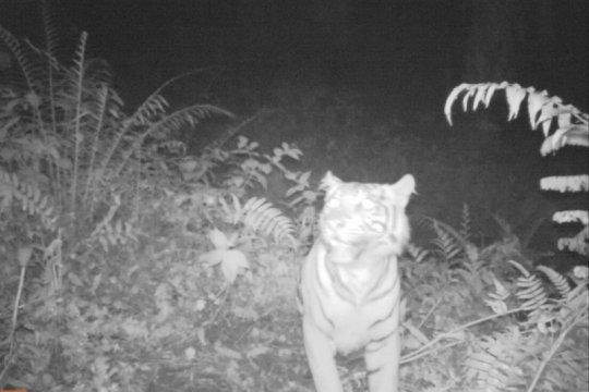 Aktivis harimau: pemburu semakin leluasa manfaatkan wabah COVID-19