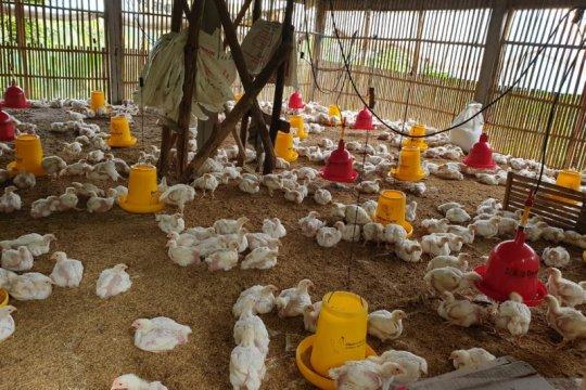 KPPU akan selidiki kenaikan harga ayam ras di Sumut