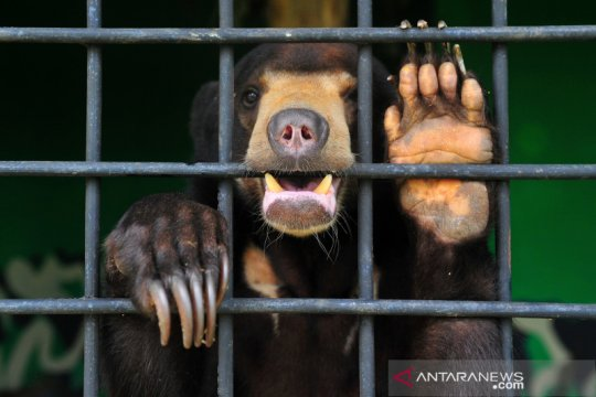 Perawatan beruang madu hasil sitaan di Jambi