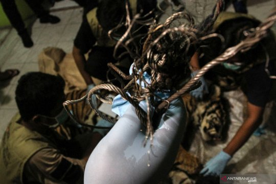 BBKSDA Riau turunkan tim ke lokasi warga diterkam Harimau Sumatera
